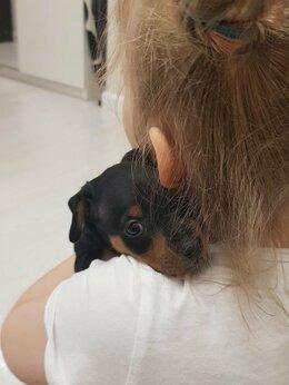 Собаки - Продаю щенков цвергпинчера (мини доберман), 0