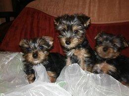 Собаки - Йоркширские терьеры щенки , 0