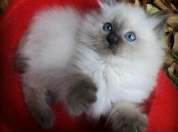 Кошки - Котёнок Регдолл, 0