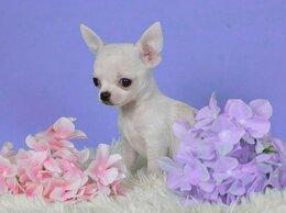 Собаки - Чихуахуа девочки мини и мелкий стандарт щенки, 0