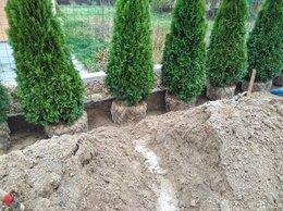 Рассада, саженцы, кустарники, деревья - Живая изгородь и посадка Туй, 0