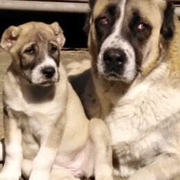 Собаки - Щенки алабая. , 0