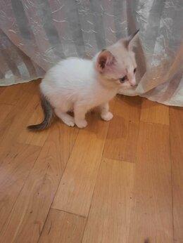 Кошки - Голубоглазая девочка от домашней сиамской кошки., 0