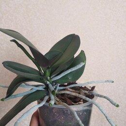 Комнатные растения - Орхидея фаленопсис , 0