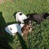 Русский охотничий спаниель по цене 6000₽ - Собаки, фото 1