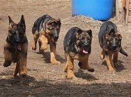 Собаки - Щенки служебных немецких овчарок -без документов., 0