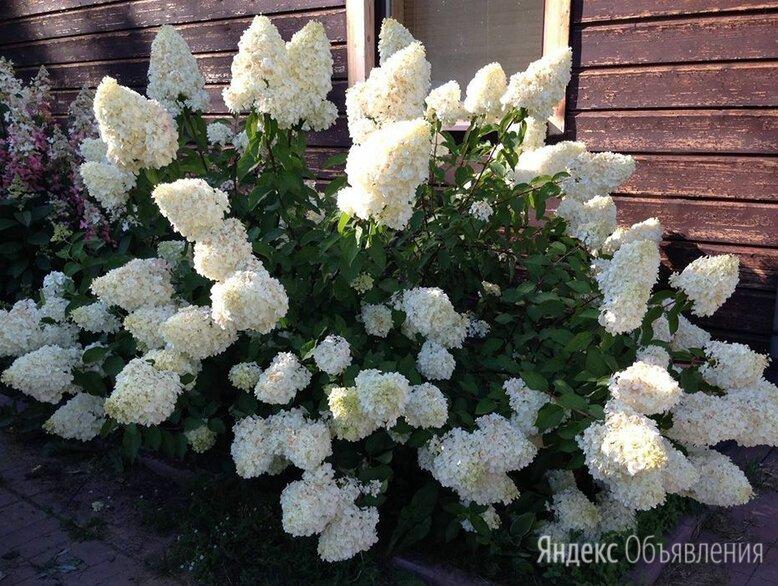 Гортензия метельчатая садовая Polar Bear (Полар Бир) по цене 950₽ - Рассада, саженцы, кустарники, деревья, фото 0