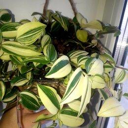 Комнатные растения - Традесканции, 0