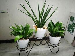Комнатные растения - Сансевиерии Ханни, Цилиндрика и Лауренти, 0