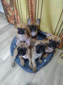 Собаки - Продам щенков французского бульдога, 0