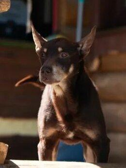 """Собаки - Бывшедомашний """"шоколадный"""" Медоед ищет любящую…, 0"""