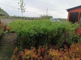 Рассада, саженцы, кустарники, деревья - Пузыреплодник калинолистный желтый, 0