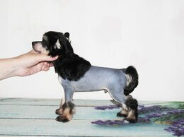 Собаки - шикарный голый мальчик китайской хохлатой собаки, 0