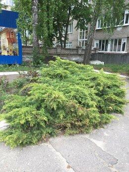 Рассада, саженцы, кустарники, деревья - можжевельник, 0