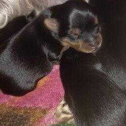 Собаки - Бронь Йорки, 0