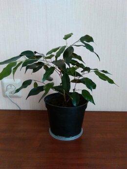 Комнатные растения - Фикус Бенджамина зеленый, 0