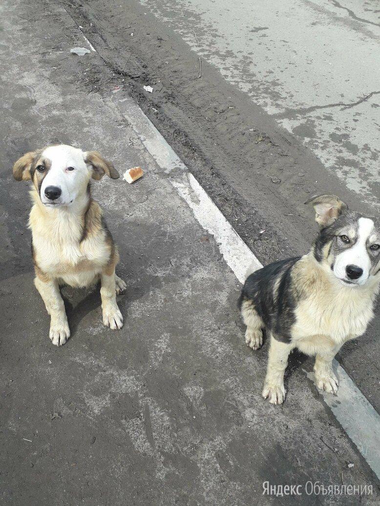 Цветные мальчишки в поиске хозяина  по цене 20₽ - Собаки, фото 0