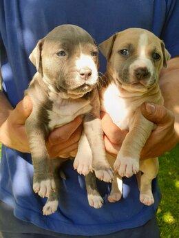 Собаки - Щенки Стаффорда, 0