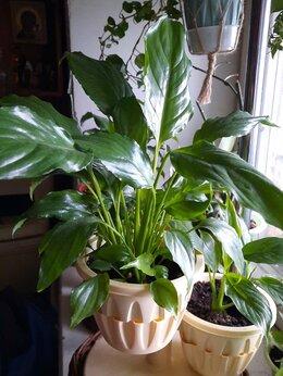 Комнатные растения - Спатифиллум Чопин,Шопен., 0
