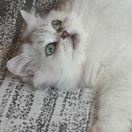 Кошки - Отдам кошку шиншиллу в добрые руки, 0
