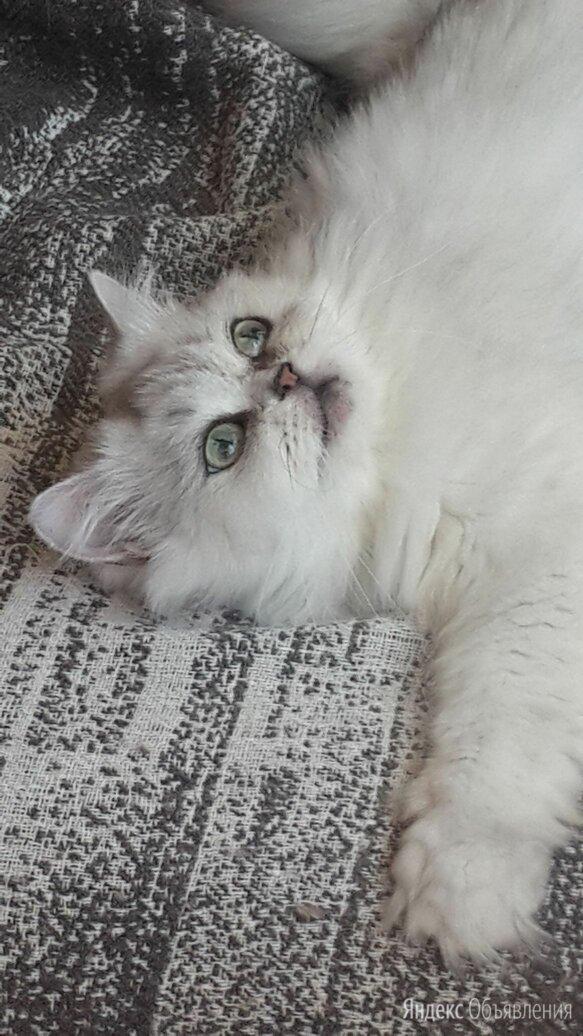 Отдам кошку шиншиллу в добрые руки по цене даром - Кошки, фото 0