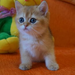 Кошки - Британская золотая шиншилла хайленд котята, 0