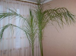 Комнатные растения - Феникс (Phoenix), 0