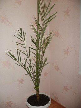 Комнатные растения - Phoenix dactylifera, 0