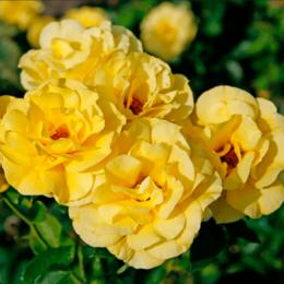 "Комнатные растения - Роза флорибунда ""Friesia"" (Фрейсия) (HLK/С5/////), 0"