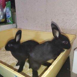 Кролики - Декоративный кролик (цветной карлик), 0