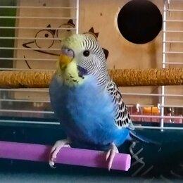 Птицы - Волнистый попугай , самец, получех., 0