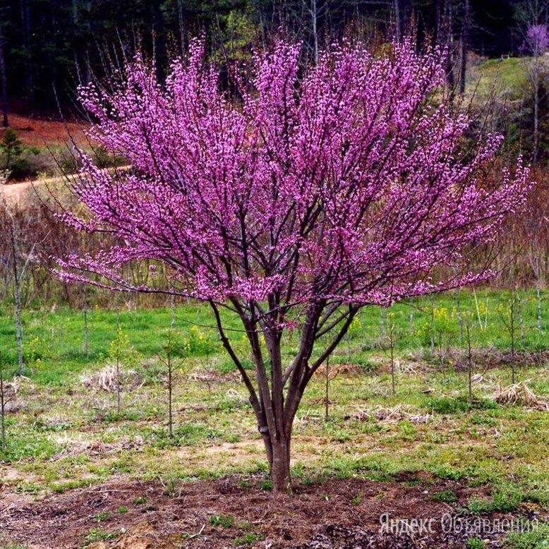 иудино дерево и др. саженцы по цене 1000₽ - Рассада, саженцы, кустарники, деревья, фото 0