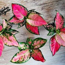 Комнатные растения - Аглаонема AnyаManee Pink (домашняя) , 0