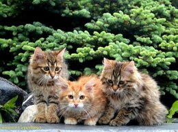 Кошки - ПЛЕМЕННЫЕ РЫСЯТА, 0