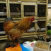 Куры и петухи по цене 800₽ - Сельскохозяйственные животные и птицы, фото 3