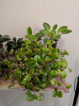 Комнатные растения - Пеперомия, 0