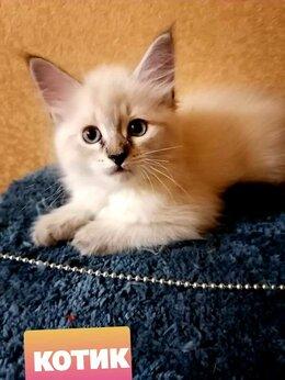 Кошки - Котята Невская маскарадная, 0