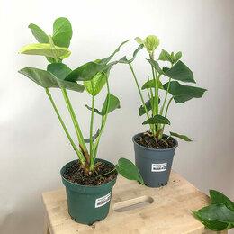 Комнатные растения - Антуриум Самора Anthurium Samora (Диаметр…, 0