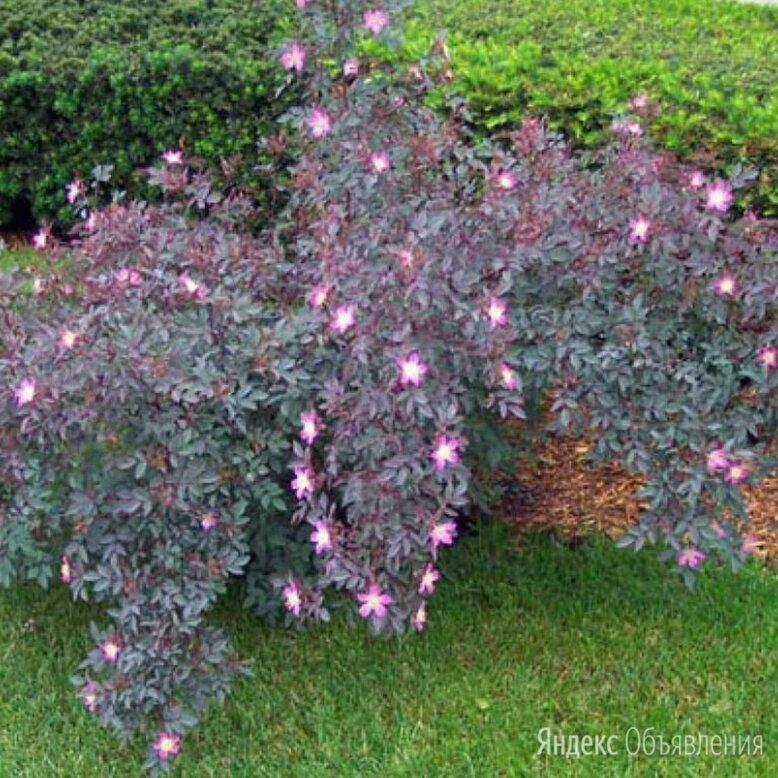 Шиповник сизый, роза сизая (rosa glauca) всего 1 саженец по цене 750₽ - Рассада, саженцы, кустарники, деревья, фото 0