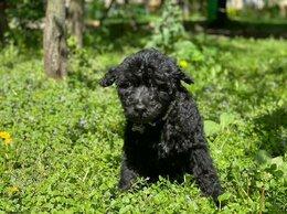 Собаки - Щенок (девочка, 2.5 месяца) в добрые руки, 0