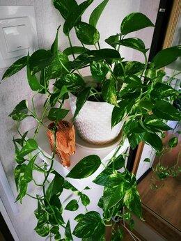 Комнатные растения - Эпипремнум золотистый, 0