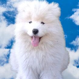 Собаки - Порода собак самоед, 0