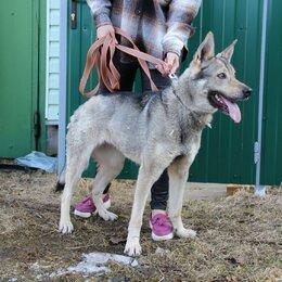 Животные - Найдена собака метис чехословацкого волчака, 0
