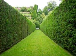 Рассада, саженцы, кустарники, деревья - Живая изгородь под ключ, 0