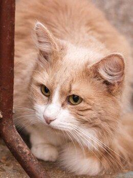 Кошки - Рыжий кот, 0