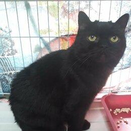 Кошки - Преданный кот (подбританный кастрат), 0