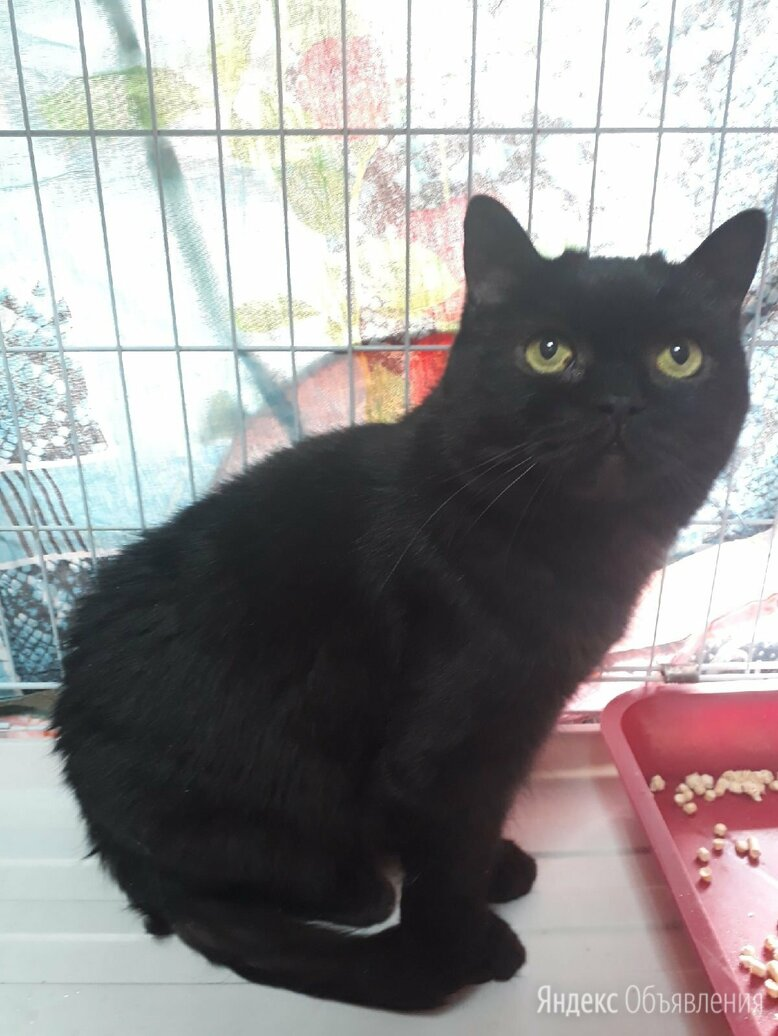 Преданный кот (подбританный кастрат) по цене даром - Кошки, фото 0