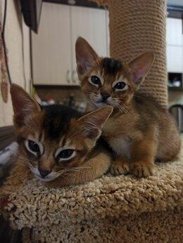 Кошки - Абиссинские котята, 0