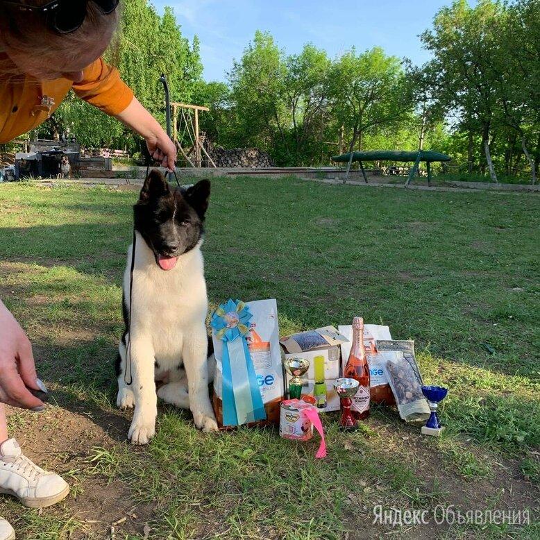 Щенки Американской акиты по цене 15000₽ - Собаки, фото 0