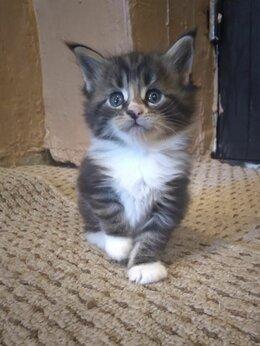 Кошки - Котята Мейн -кун, 0